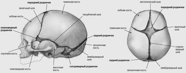 анатомия черепа младенца