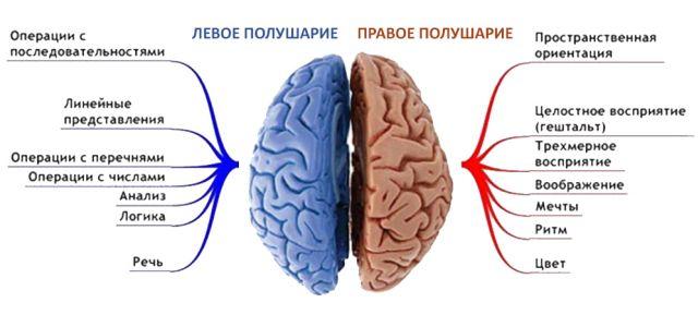 полушария мозга и функции