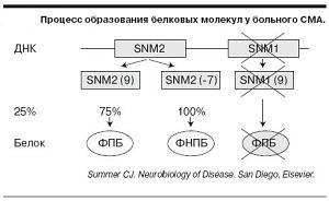 образование SMN-белка