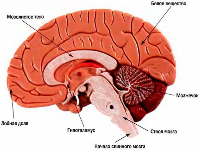 Анатомия ствола мозга