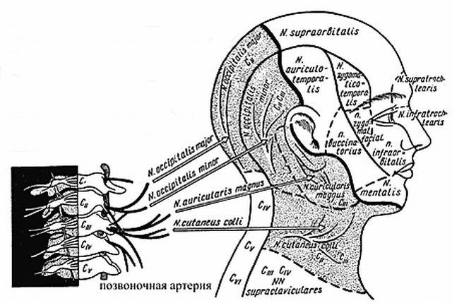 артерии шейные