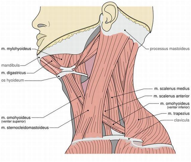 мышечные волокна шеи