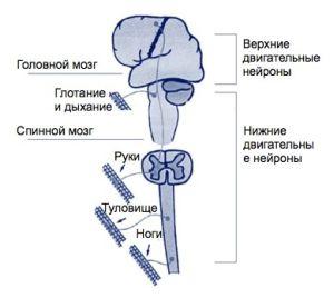 Болезнь двигательного нейрона (мотонейрона): симптоми, диагностика и лечение БАС и других форм БДН