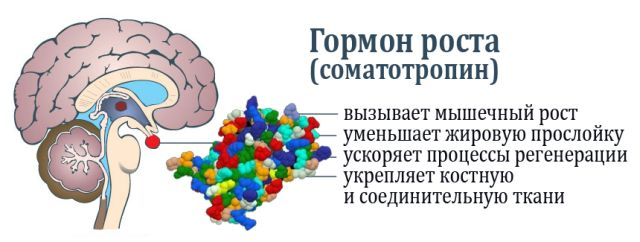 соматотропин гормон