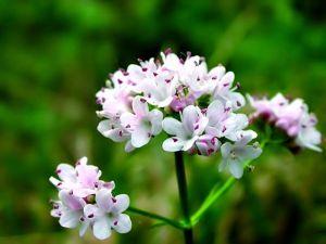 валериана цветет