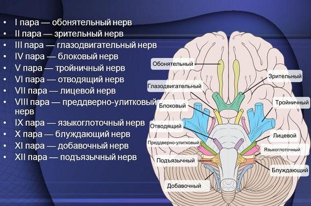 Все черепно-мозговые нервы
