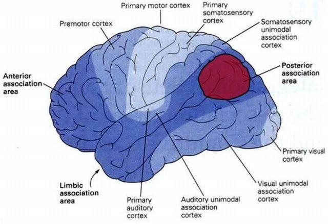 Части мозга