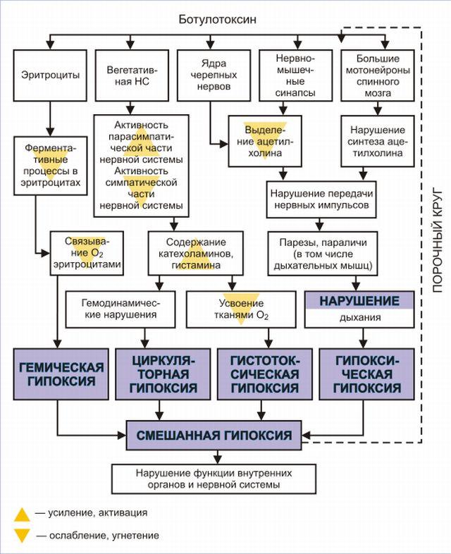 Как действует ботулотоксин