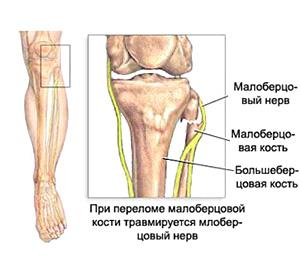 Анатомия нерва