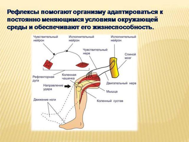 рефлекторная дуга коленного рефлекса