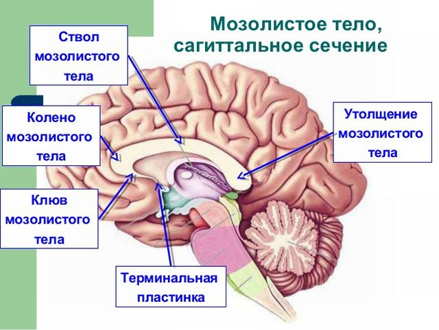 Анатомия мозолистого тела