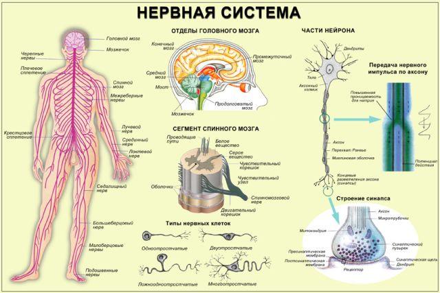 Нервная система строение