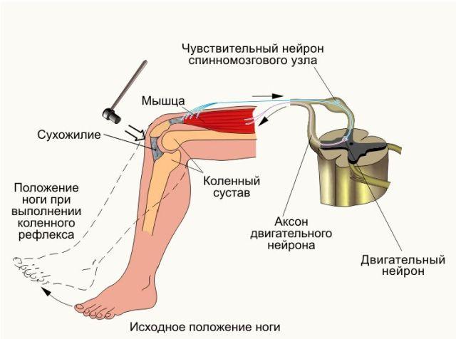 Проверка коленного рефлекса