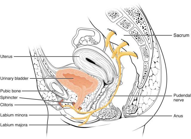 Женский срамной нерв