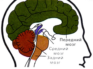 Задний мозг (варолиев мост)