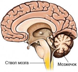 Свол мозга