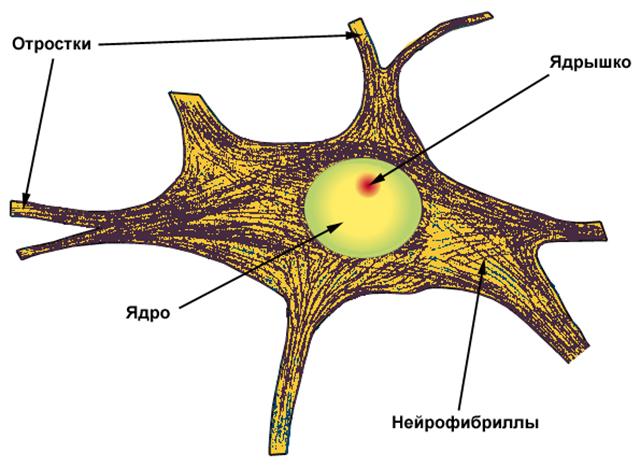 Что такое нейрофириллы