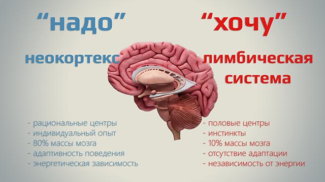 Что такое неокортекс