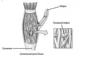 Как работает проприоцепция