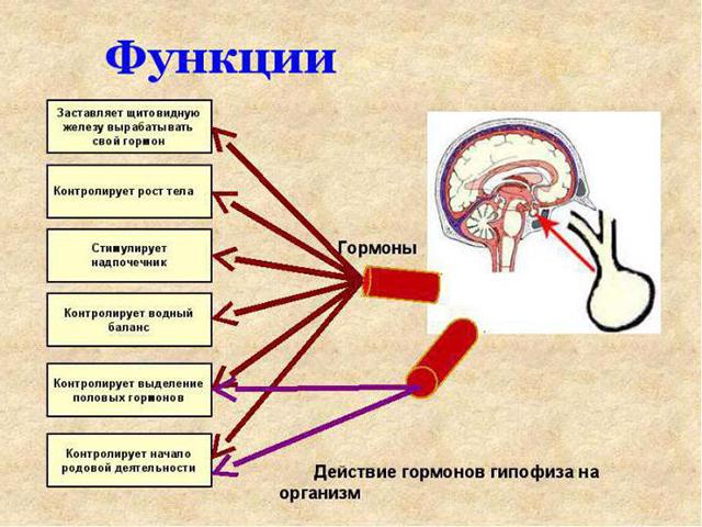 Функции гормонов гипофиза