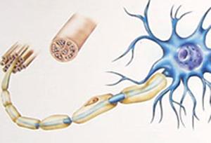 Что такое нервное волокно