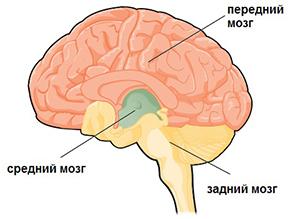 Расположение переднего мозга