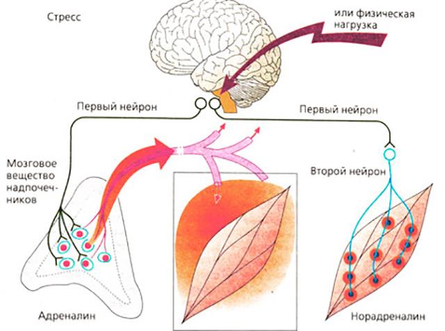 Структура симпатоадреналовой системы