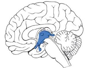 Где находится промежуточный мозг