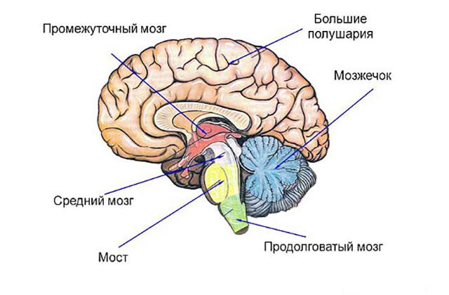 Строение промежуточного мозга