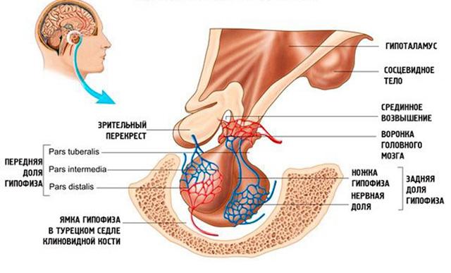Анатомия гипофиза