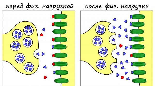Синтез эндорфинов