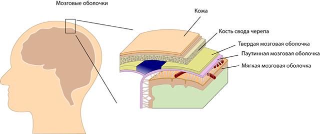 Строение твердой мозговой оболочки