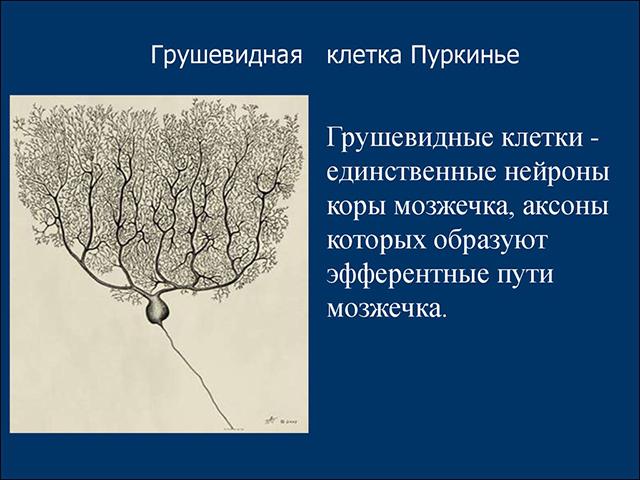 Вид клеток Пуркинье