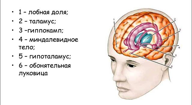 Где находится обонятельный мозг