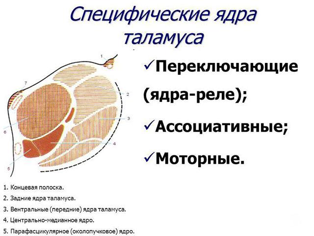 Функции таломуса