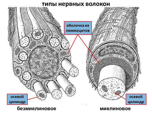 Классификация нервных волокон