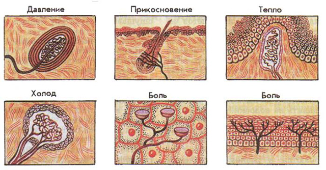 Мышечные рецепторы