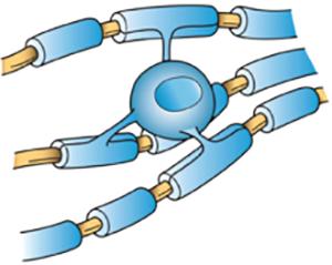 Олигодендроциты