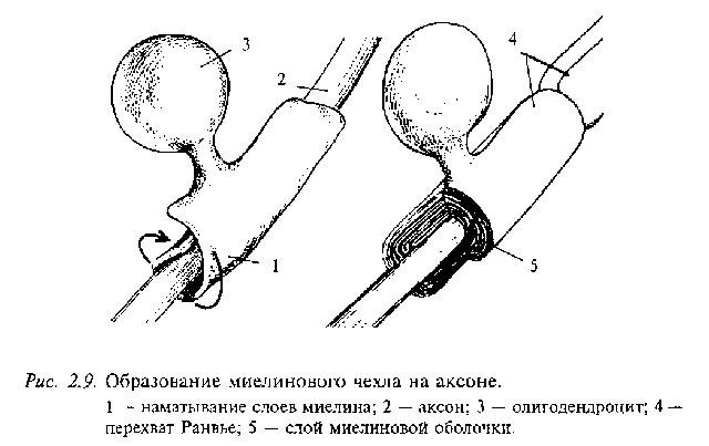 Олигодендроциты строение