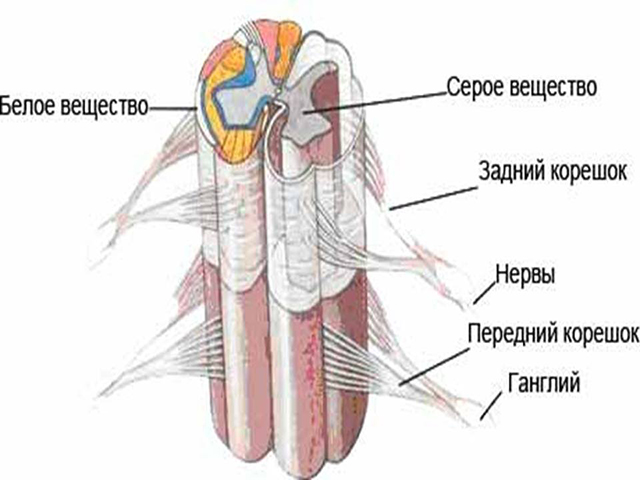Спинной мозг строение