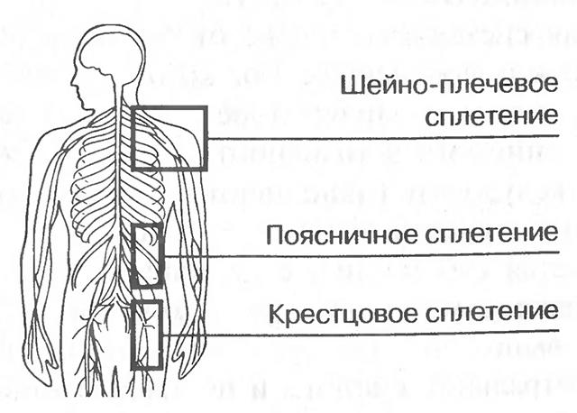 Нервные сплетения