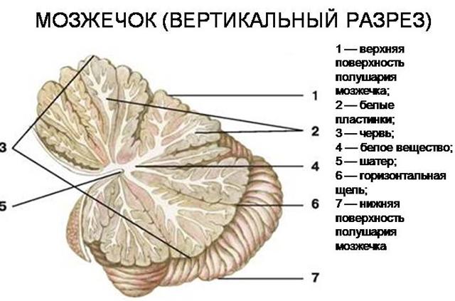 Строение мозжечка