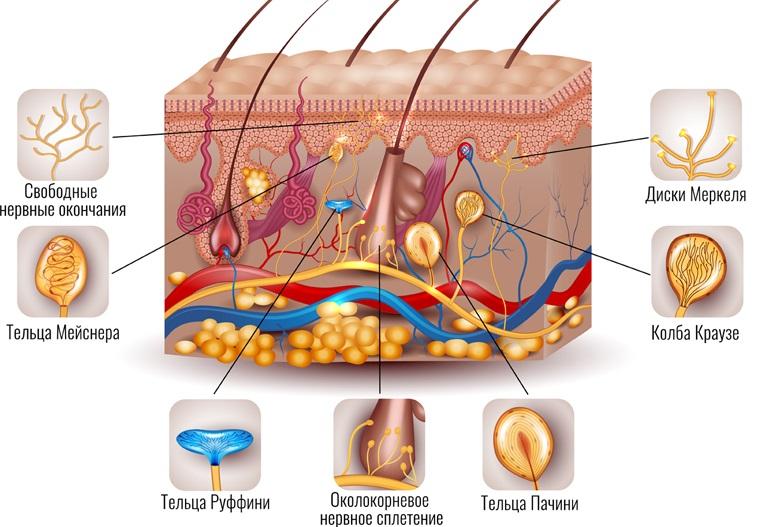 Механорецепторы кожи