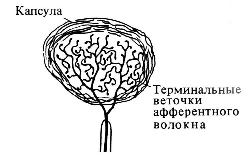 Колба Краузе