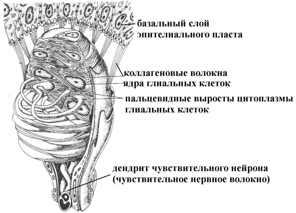 Строение тельца Мейснера