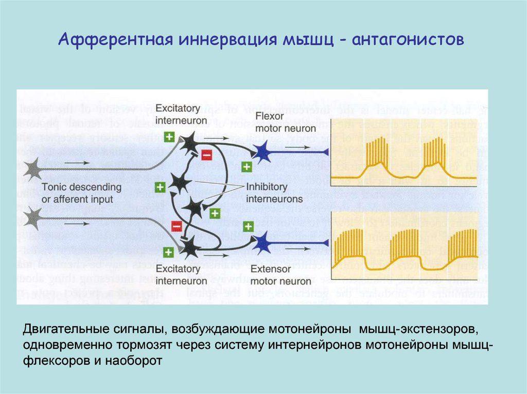 Афферентная иннервация мышц-антагонистов