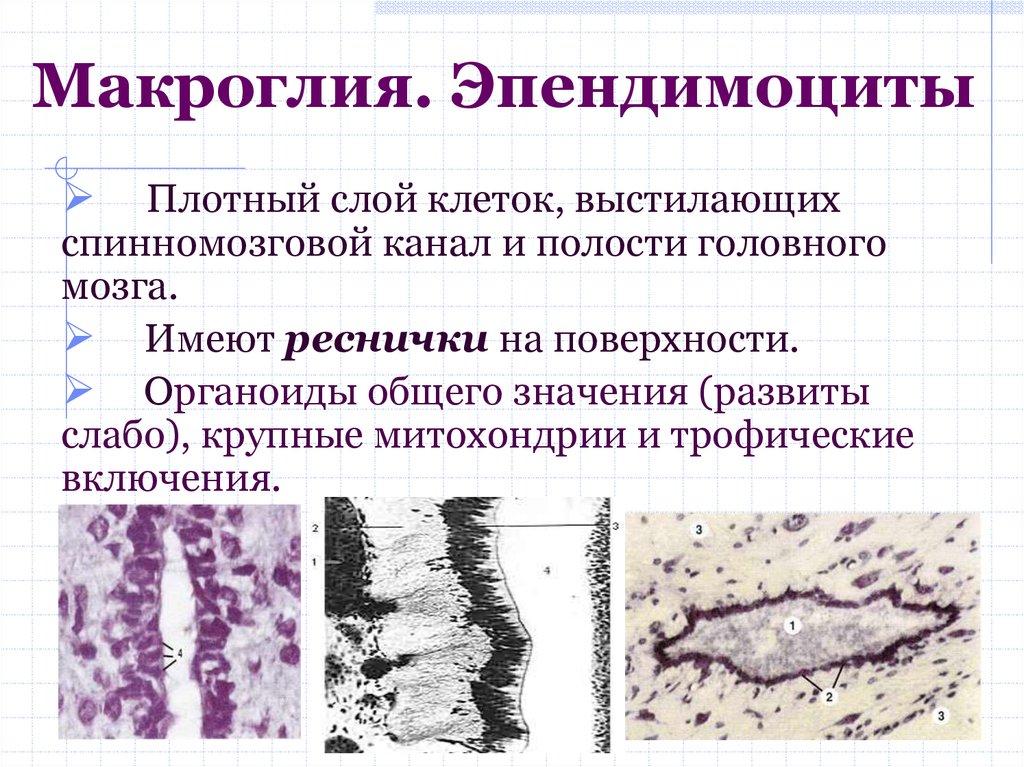 Эпендимоциты - функции