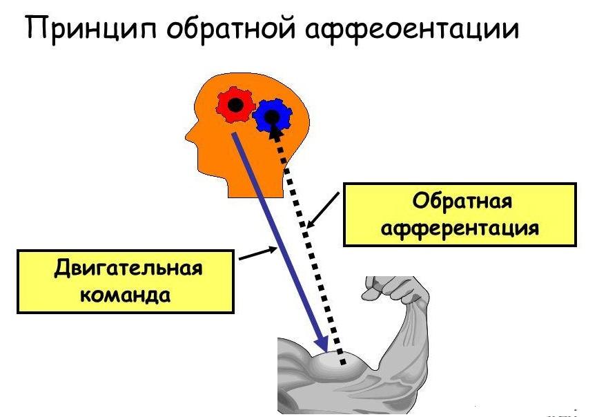 Принцип обратной афферентации