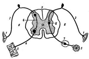 Общая физиология рецептивного рефлекса