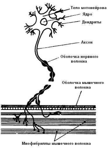 Строение мотонейрона